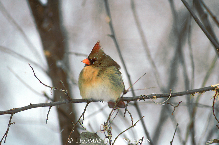 Female cardinal perches on a branch along the Platte River.