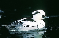 male Smew in breeding plumage