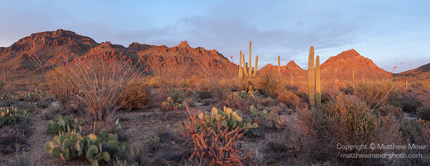 Tucson Mountain Park, Tucson, Arizona; a panoramic view of the desert floor and mountainside covered in Saguaro cactus, Ocotillo and Prickly Pear cactus at sunset