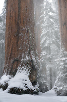 Whiteout. Sequoia National Park, CA