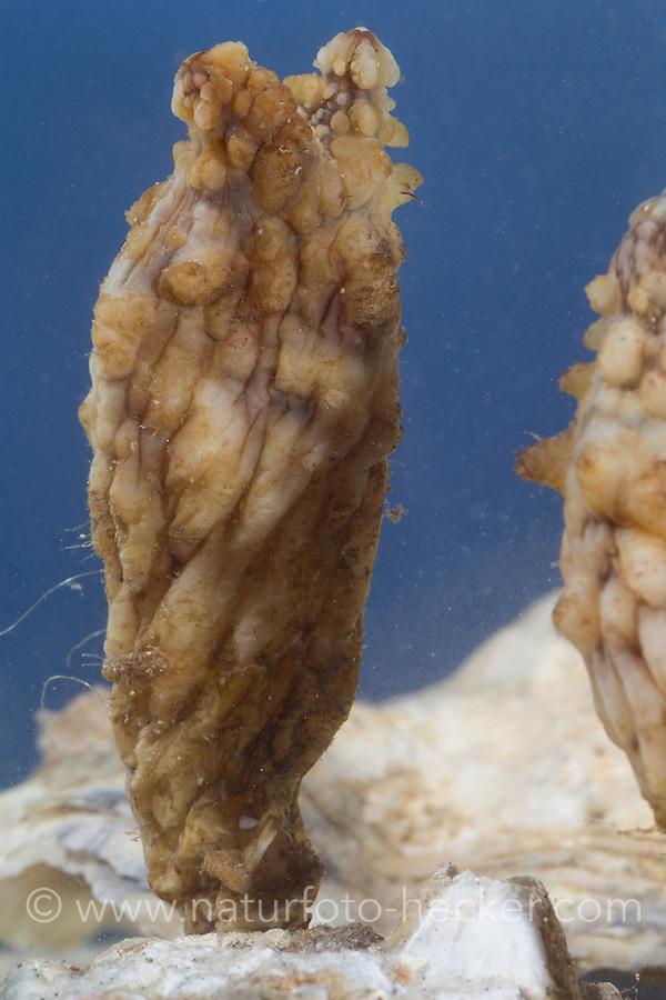 Ostasiatische Seescheide, Falten-Ascidie, Styela clava, Stalked Sea Squirt, Asian sea squirt, rough sea squirt, leathery sea squirt, folded sea squirt, L' Ascidie plissée, Seescheiden, Ascidiae, ascidians, sea squirts