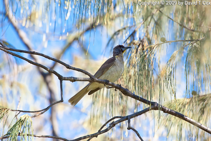 Little Friarbird juvenile, Rainbow Beach, Queensland, Australia