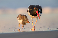 American Oystercatcher (Haematopus palliatus palliatus), parent feeding with its downy chick at sunrise at Nickerson Beach Park, Lido, Long Island, New York.
