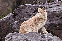 Siberian Lynx watching from on top of a wet boulder - CA