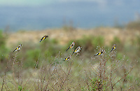 Stieglitz, Distelfink, Trupp, Carduelis carduelis, European goldfinch