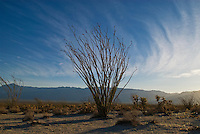 ocotillo (Fouquieria splendens) plant in desert of Northern Baja California, Mexico