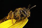 Miner Bee