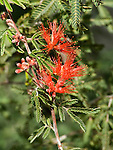 Baja Fairy Duster, Calliandra californica, flowering branch