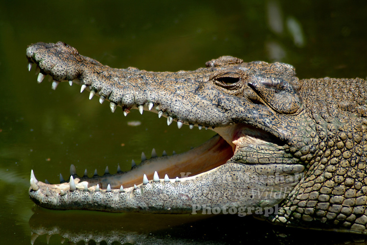 Saltwater or estuarine crocodile (Crocodylus porosus) is the largest of all living reptiles. It is found in suitable habitats throughout Southeast Asia, Northern Australia, the Eastern coast of India and the surrounding waters. The Alligator Rivers of Northern Australia are misnamed due to the resemblance of the saltwater crocodile to alligators as compared to freshwater crocodiles, which also inhabit the Northern Territory.