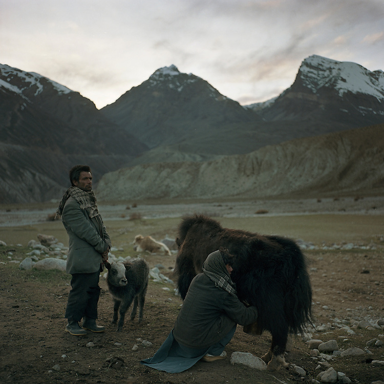 A Wakhi shepherd holds a baby yak away from his mother so that she can be milked. in the Big Pamir Mountains in the Wakhan Corridor.  The shepherds live in the mountains during the spring and summer with their herds, living off of milk and bread.