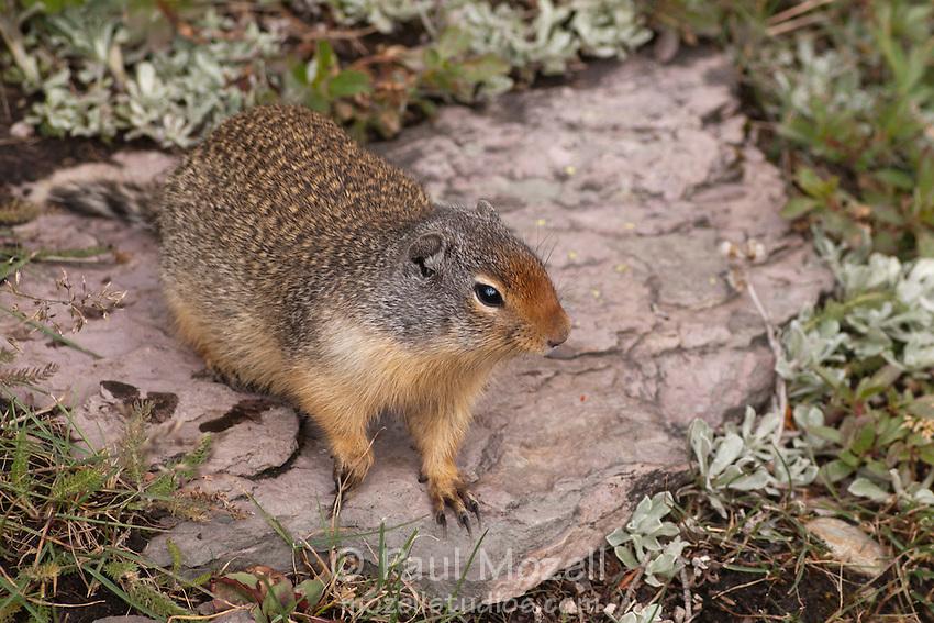 Ground Squirrel in Logan Pass, Glacier National Park, Montana
