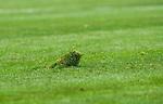 BETALBILD Solna 2015-03-07 Fotboll Allsvenskan AIK - Hammarby IF :  <br /> En st&ouml;rre gr&auml;stuva p&aring; den nya gr&auml;smattan i Friends Arena under matchen mellan AIK och Hammarby IF <br /> (Foto: Kenta J&ouml;nsson) Nyckelord:  AIK Gnaget Friends Arena Svenska Cupen Cup Derby Hammarby HIF Bajen inomhus interi&ouml;r interior gr&auml;s gr&auml;smatta gr&auml;stuva tuva matta