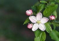 Apple blossom with king bloom. WA