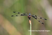 06580-00206 Banded Pennant (Celithemis fasciata) male Washinton Co. MO
