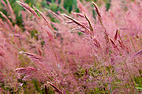 """Red tasseled grass"" in Upcountry Maui, Maui"