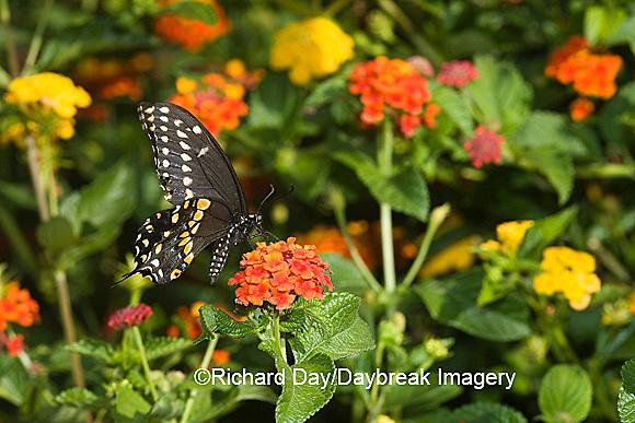 03009-015.17 Black Swallowtail (Papilio polyxenes) male on Red Spread Lantana (Lantana camara) Marion Co.  IL