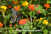 03009-015.17 Black Swallowtail (Papilio polyxenes) male on Red Spread Lantana (Lantana camara) Marion Co.  IL