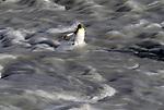 King penguin wading through a glacial river, South Georgia Island