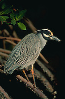 A Yellow-Crowned Night Heron (Nycticorax violacea.).