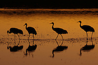 Four Sandhill Cranes (Grus canadensis)silhouetted against sunset colored water