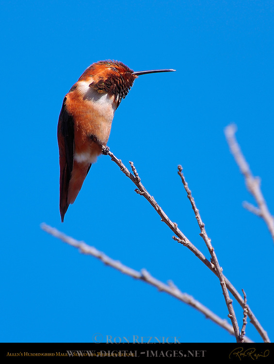Allen's Hummingbird Male with eyes closed, Sepulveda Wildlife Refuge, Southern California