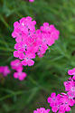 Carthusian pinks (Dianthus carthusianorum), end June.