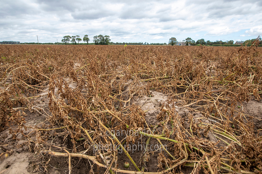 Desiccated potatoes - Lincolnshire, September