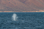 A blue whale in the Gulf of California, Mexico