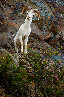Summer image of young Dall Sheep ram on rocky cliffs of Chugach Mountains in Chugach State Park with wild rose foliage.  Southcentral, Alaska<br /> <br /> Photo by Jeff Schultz (C) 2016  ALL RIGHTS RESERVED