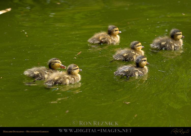 Mallard Ducklings, Huntington Gardens, San Marino, California