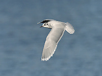 Little Gull Hydrocoloeus minutus - Winter Adult. L 25-28cm. Our smallest gull. Has buoyant, tern-like flight. Sexes are similar. Adult in summer has pale grey upperwings with white wingtips, dark hood, dark bill and short, reddish legs. In flight, upperwings have white trailing edge and rounded white wingtip; underwings are dark with white trailing edge. In winter, similar but loses dark hood; otherwise white head has dark smudges on crown and ear coverts. Juvenile has striking black bar (forming letter 'W') on upperwings and back. Note dark markings on mantle, nape and ear coverts, and dark tail band; plumage is otherwise white. 1st winter is similar to juvenile but back is pale grey, hence dark bar is seen only on wings. Adult plumage acquired over next 2 years. Voice Utters a sharp kyeck call. Status Regular but scarce passage migrant and winter visitor; mainly coastal.