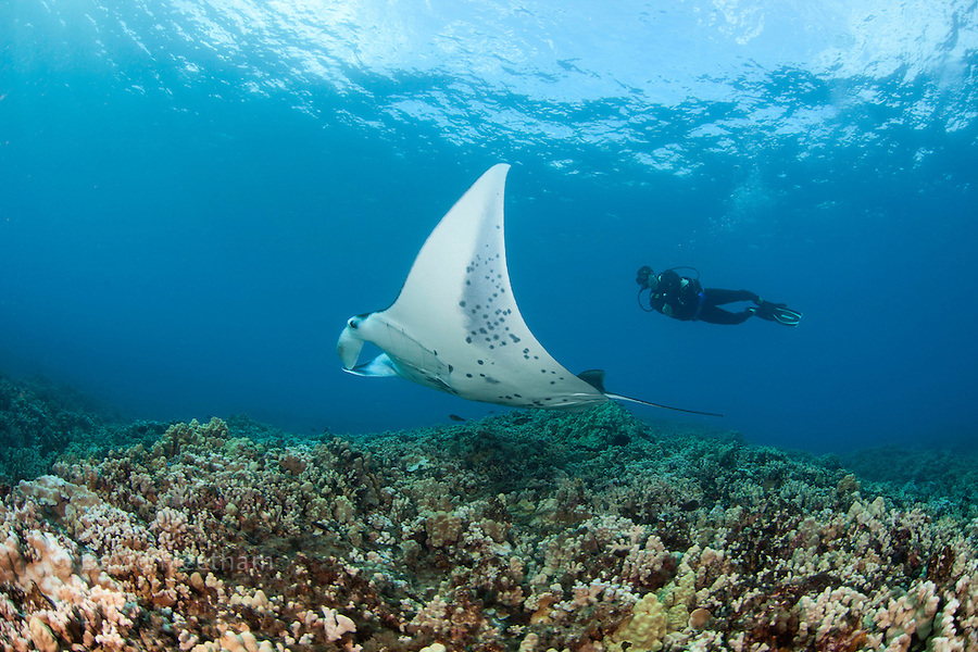 A reef manta ray, Manta alfredi, cruises over the shallows off Ukumehame, Maui, Hawaii. The diver is model released.