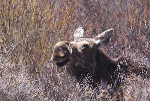 A moose is all caught up in the willows at Yellowstone National Park,Wyoming.