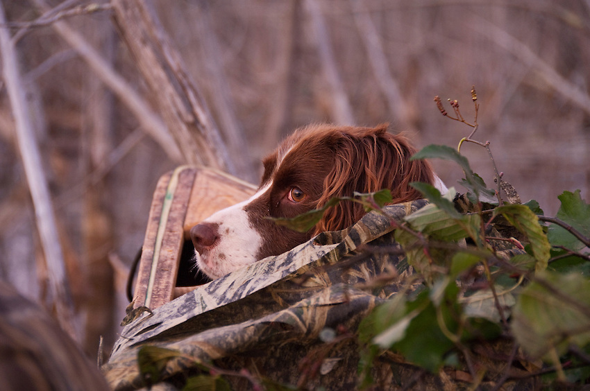A female springer spaniel in the bow of a canoe while waterfowl hunting.