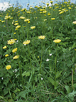 LEOPARD'S-BANE Doronicum pardalianches (Asteraceae) Height to 70cm. Upright and downy or hairy perennial that grows on roadside verges, and in woodland rides. FLOWERS are borne in heads, 3-5cm across, comprising orange-yellow disc florets and bright yellow ray florets; carried in branched inflorescences of 2-5 heads (May-Jun). FRUITS are achenes. LEAVES are heart-shaped, toothed and stalked at the base of the plant; stem leaves are increasingly unstalked up the plant. STATUS-Introduced as a garden plant, and naturalised locally across the region.