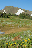Olympic Marmot (Marmota olympus) in alpine area of Olympic Mountains, Olympic National Park, Washington.  Summe