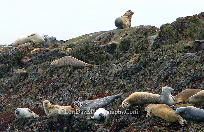 Harbor Seals on Rock  #W9