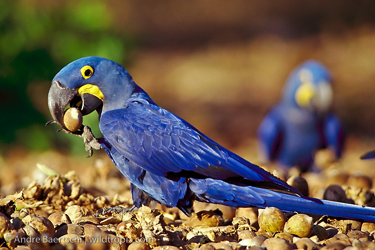 Hyacinth Macaws (Anodorhynchus hyacinthinus), feeding on ground grown Attalea palm nuts, nuts are well exposed after a bush fire in the cerrado habitat, southern Piauí State, NE Brazil.