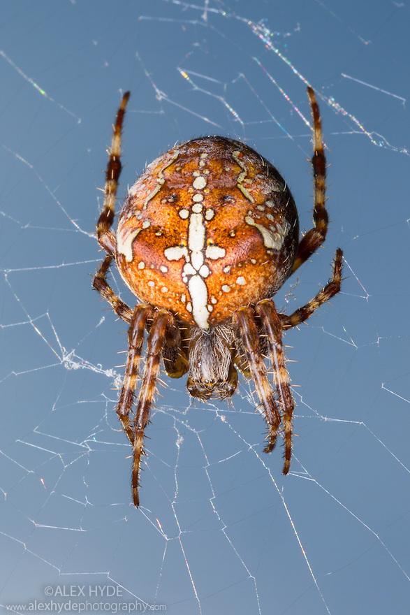 Garden Spider female (Araneus diadematus) hanging in web. Peak District National Park, Derbyshire, UK. September.