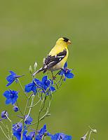 American Goldfinch, Lumberton, New Jersey