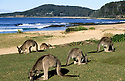 Tame Eastern Grey Kangaroos feeding on grass at Pebbly Beach, Murramarang National Park, NSW