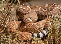 "Red Diamond Rattlesnake - Crotalus Ruber - Warming itself at dusk. Much less agressive than the Western Diamondback I encountered in Arizona a few days earlier, ""rubers"" have are known to be pretty laid back rattlesnakes."