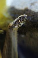 Vipernnatter, Vipern-Natter, Natter, Schlange im Wasser, Natrix maura, Viperine Snake