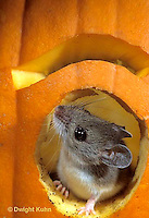 MU59-055z  White-Footed Mouse - on Jack-o-lantern -  Peromyscus leucopus