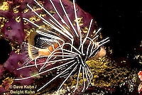 TP03-017z   Dwarfed Lionfish - Zebra Lionfish - Dendrochirus zebra  © David Kuhn/Dwight Kuhn Photo.