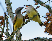 Adult western kingbird feeding fledgling
