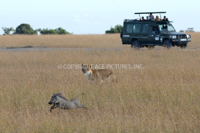WWW.ACEPIXS.COM<br /> February 29, 2016 New York City<br /> <br /> Lion chasing a wart hog seen in Sweetwaters Game Reserve Ol Pejeta Conservancy on February 29, 2016 in Kenya.<br /> <br /> Credit: Kristin Callahan<br /> web: http://www.acepixs.com
