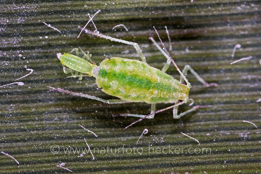 Mehlige Pflaumenblattlaus, Mehlige Pflaumen-Blattlaus, Geburt einer Nymphe, Hyalopterus pruni, Mealy Plum Aphid