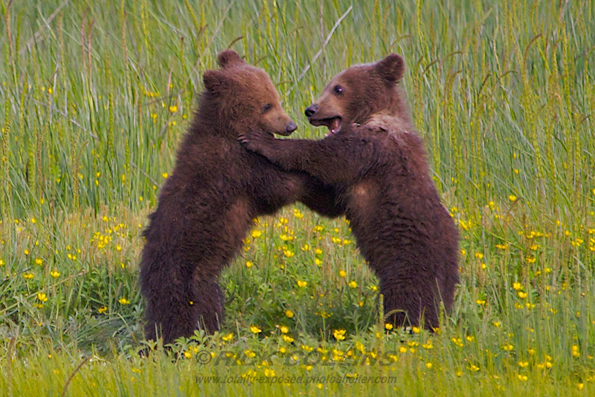 Two grizzly bear spring cubs play in a field of buttercups at Lake Clark National Park, Alaska.
