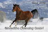 Bob, ANIMALS, REALISTISCHE TIERE, ANIMALES REALISTICOS, horses, photos+++++,GBLA4379,#a#, EVERYDAY